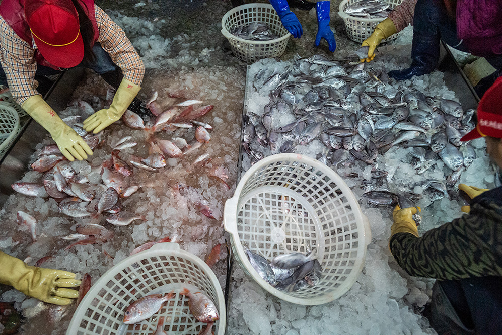 Workers separate fish from ice at a fish market in Taiwan.