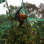 A flying fox caught in green death netting.