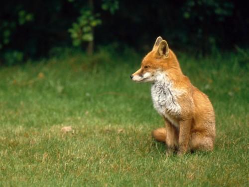 Fox cub - no hunting