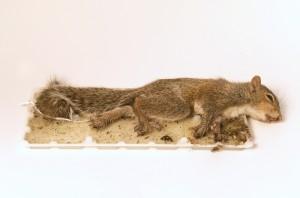 Glue trap squirrel