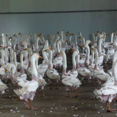 Geese huddle together after their feathers are ripped out.