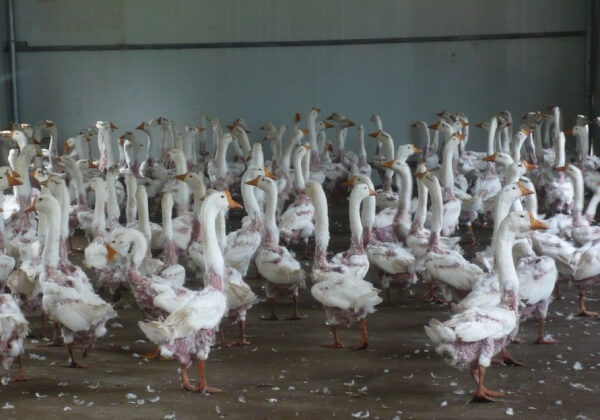 Exposed: Despite 'Responsible Down Standards', Farms Still Live-Plucking Geese