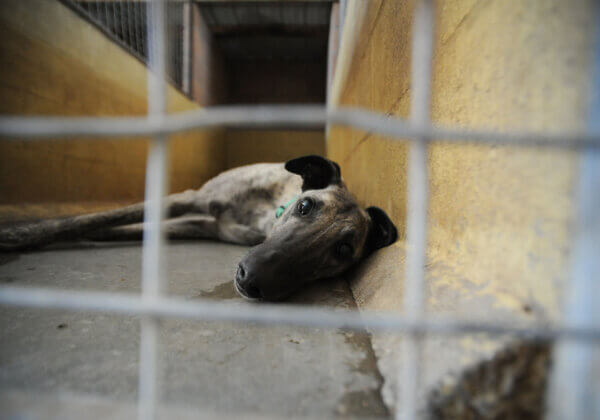 Investigation Into Greyhound Trafficking From Australia to China