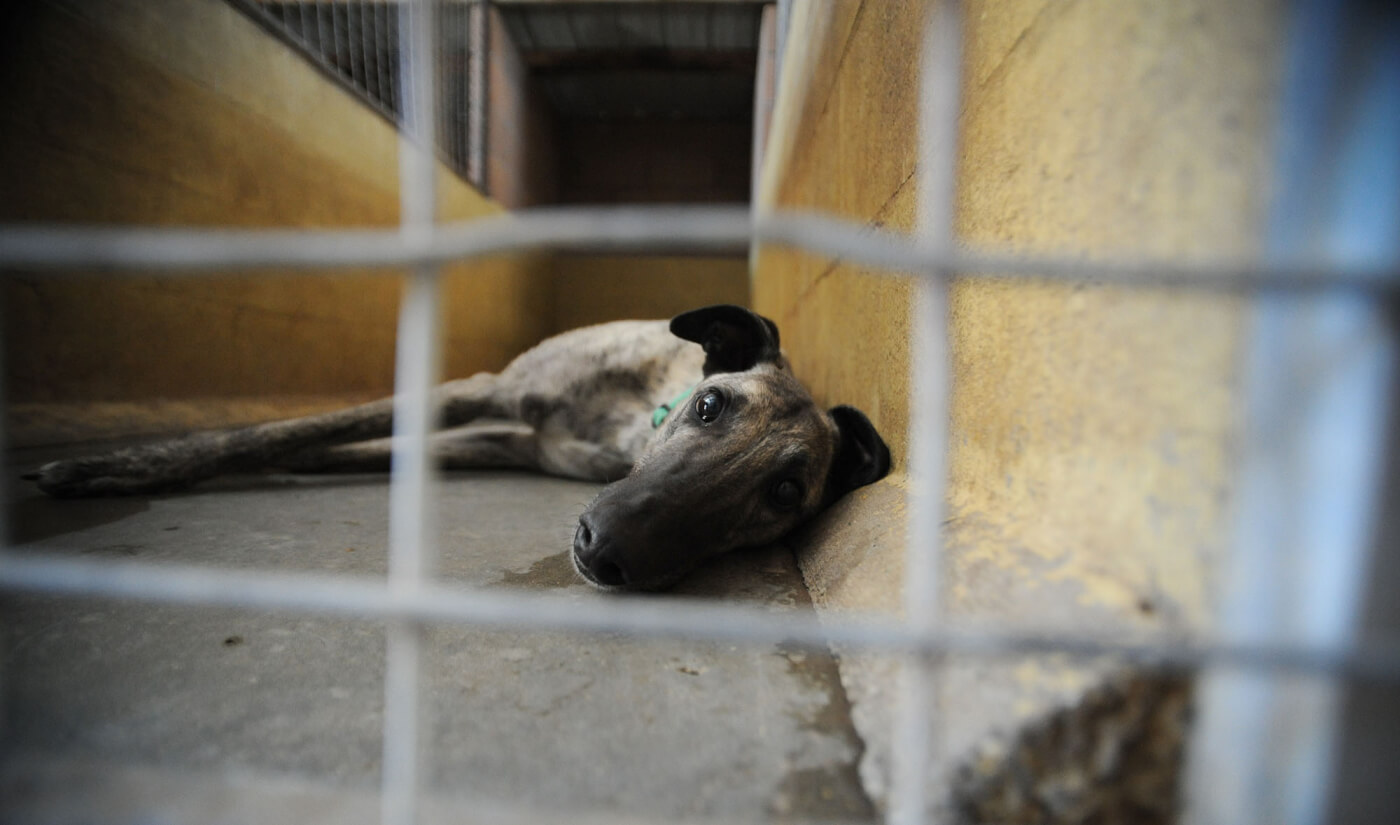 a greyhound in a kennel