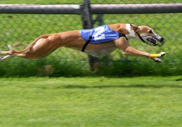 Stop Greyhound Race Track Development in SA