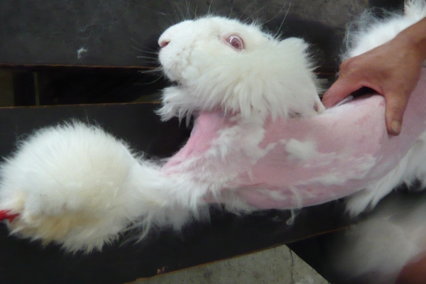 How Rabbits Suffer for Angora