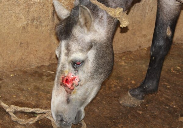 Image shows a horse with a wound on face.