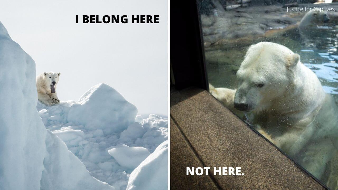 5 Reasons Why Polar Bears Do Not Belong in Australia