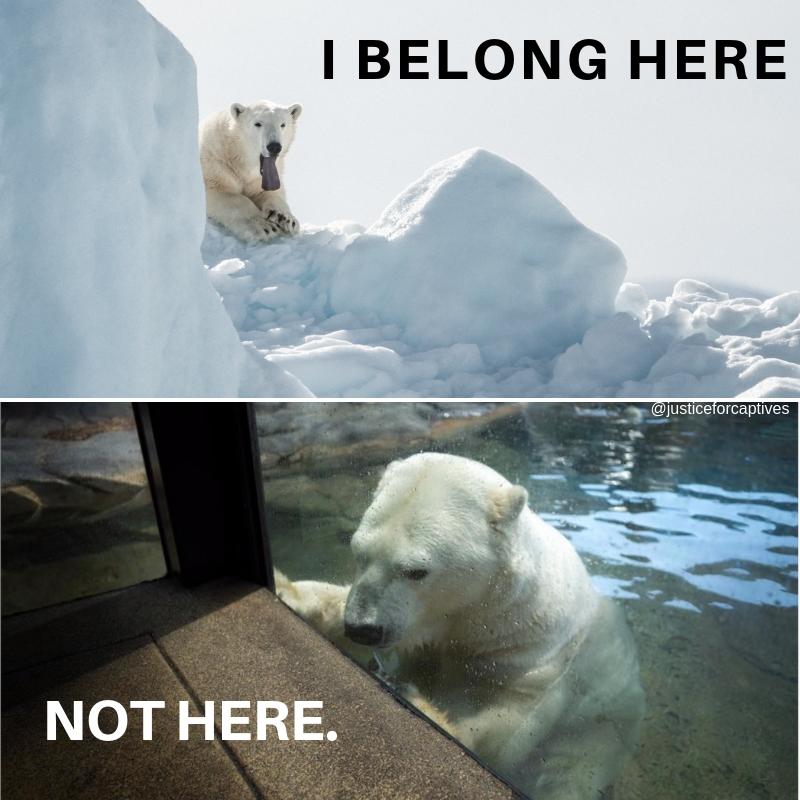 Polar Bear in Captivity
