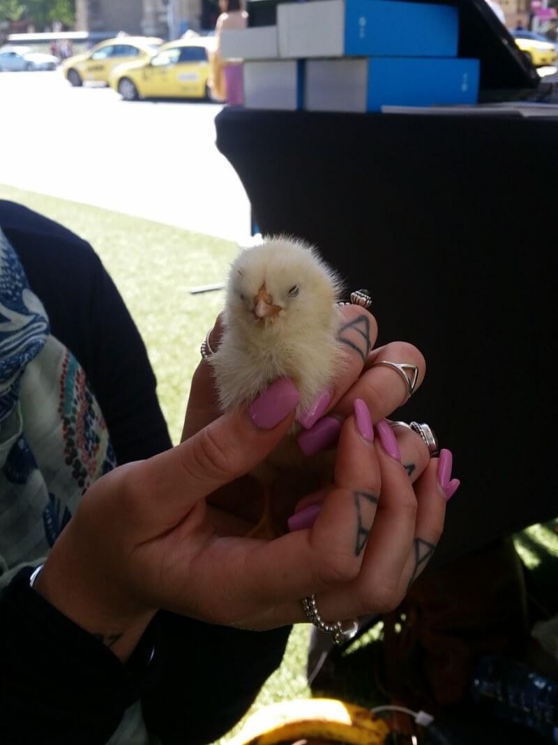 Douglas the chick