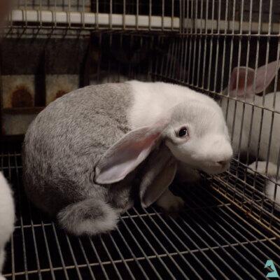 A rabbit with head tilt