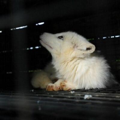 Trapped Fox on Fur Farm