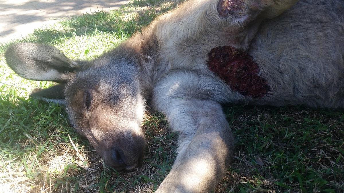 Image shows a dead kangaroo.