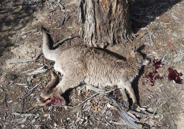Take Action to End the Kangaroo Slaughter