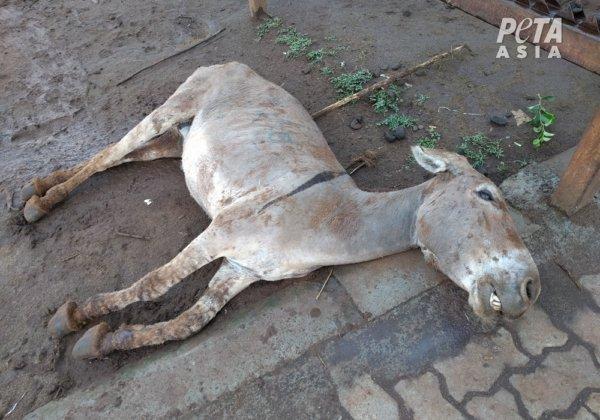 A dead donkey outside a slaughterhouse in Kenya.