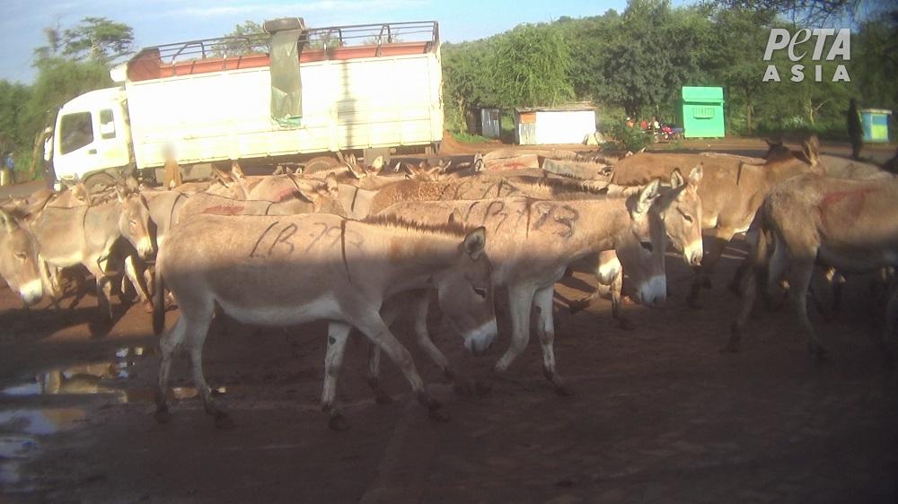 Donkeys in Kenya.