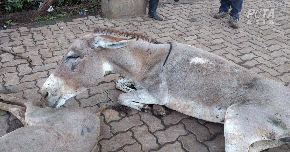 Injured donkey dumped outside a slaughterhouse in Kenya.