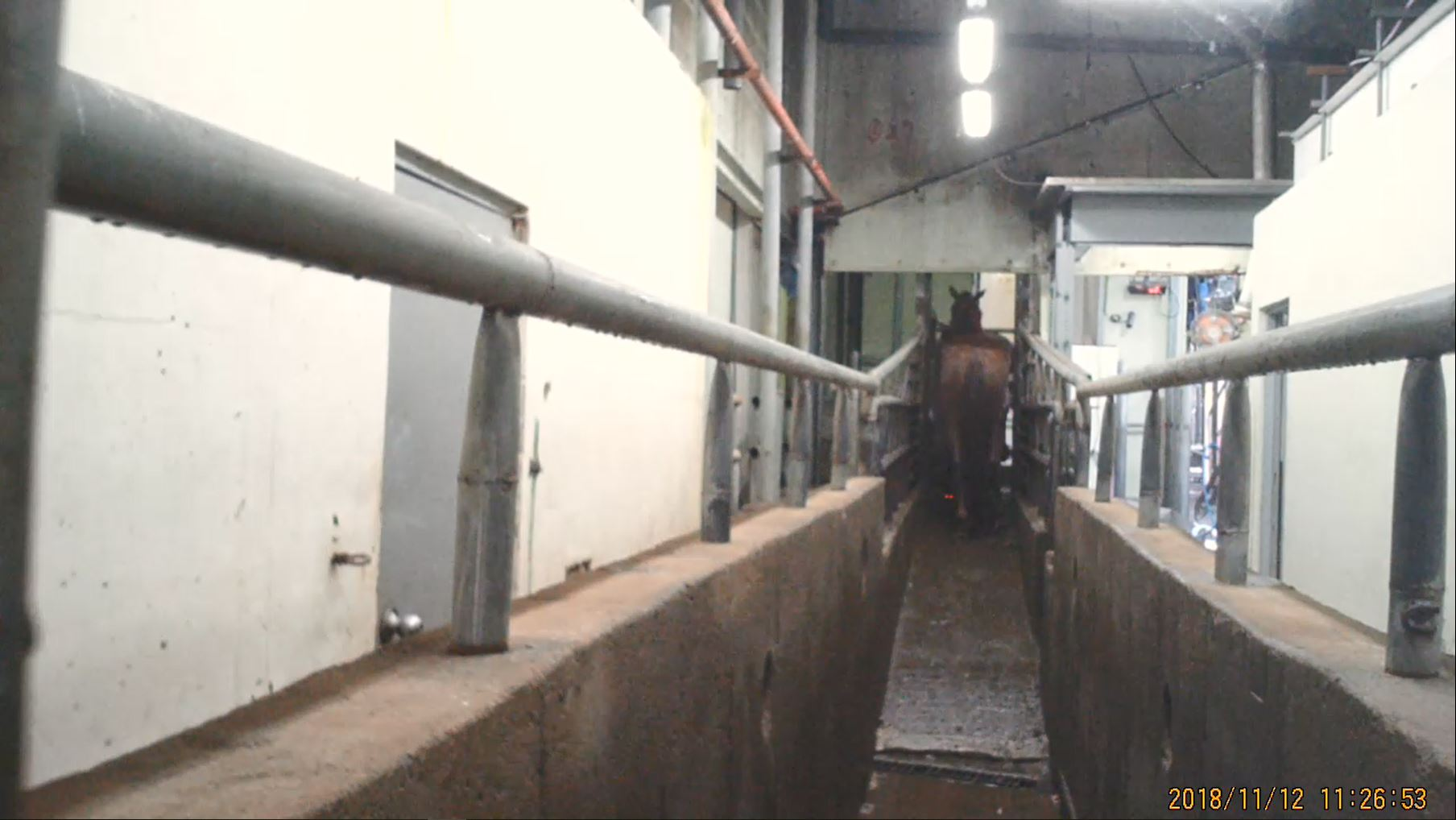 Horse in a slaughter chute, just before entering the kill box.