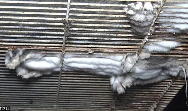 Investigation Reveals Rabbits Are Tortured for 'Orylag Fur'