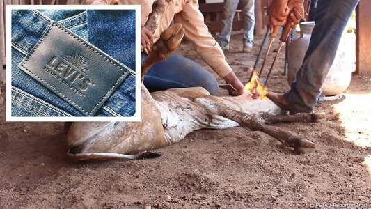 Image shows a cow being branded,