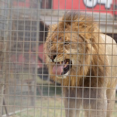Lion at Stardust Circus