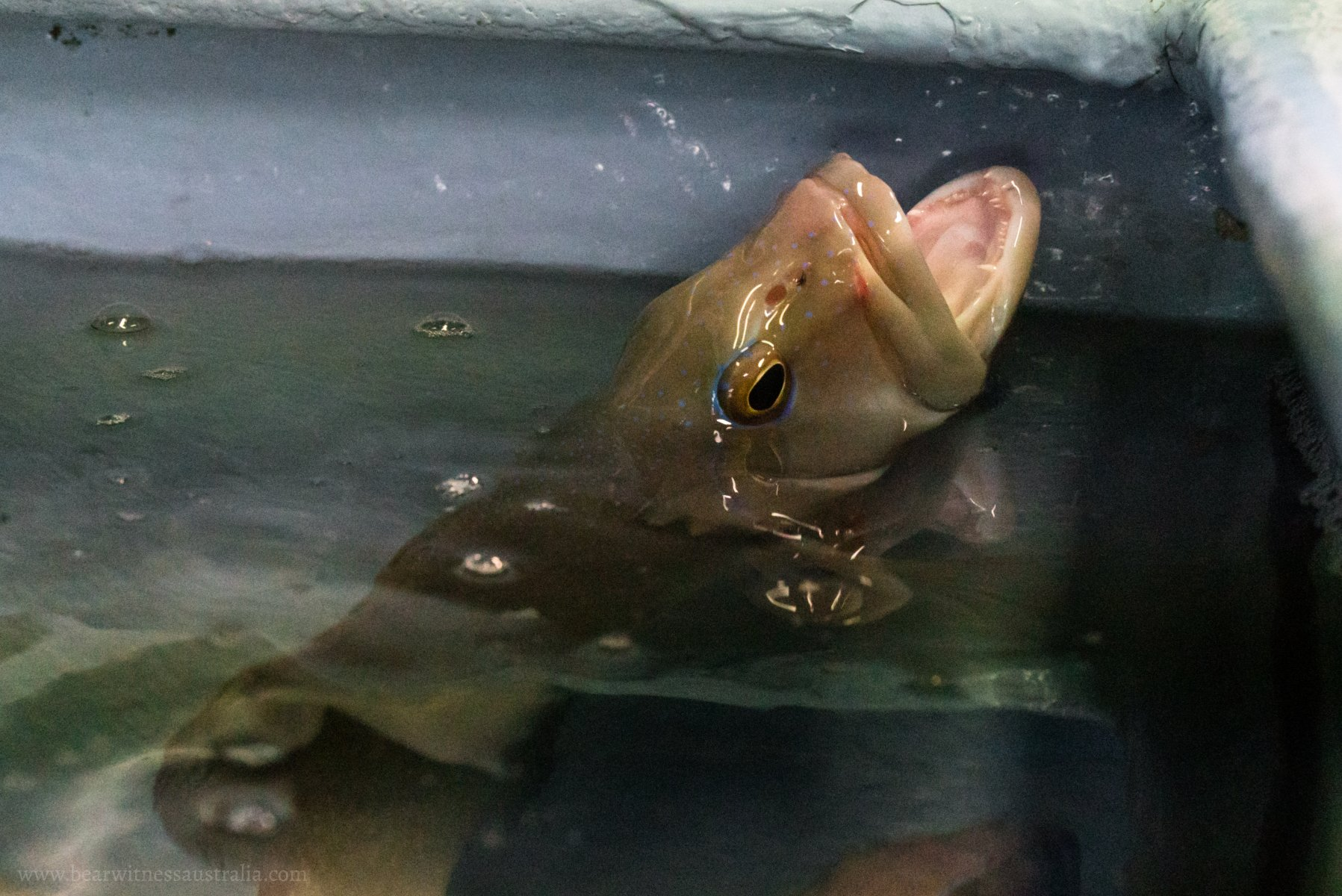 A photo of a fish at a live seafood store in Victoria.