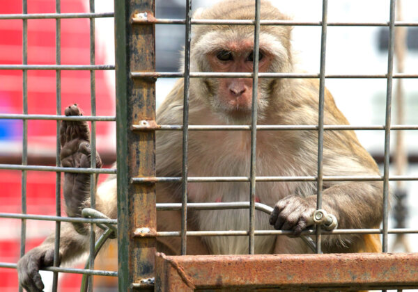 A macaque monkey in a cage at the circus