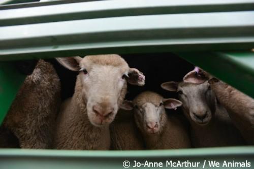 sheep live export