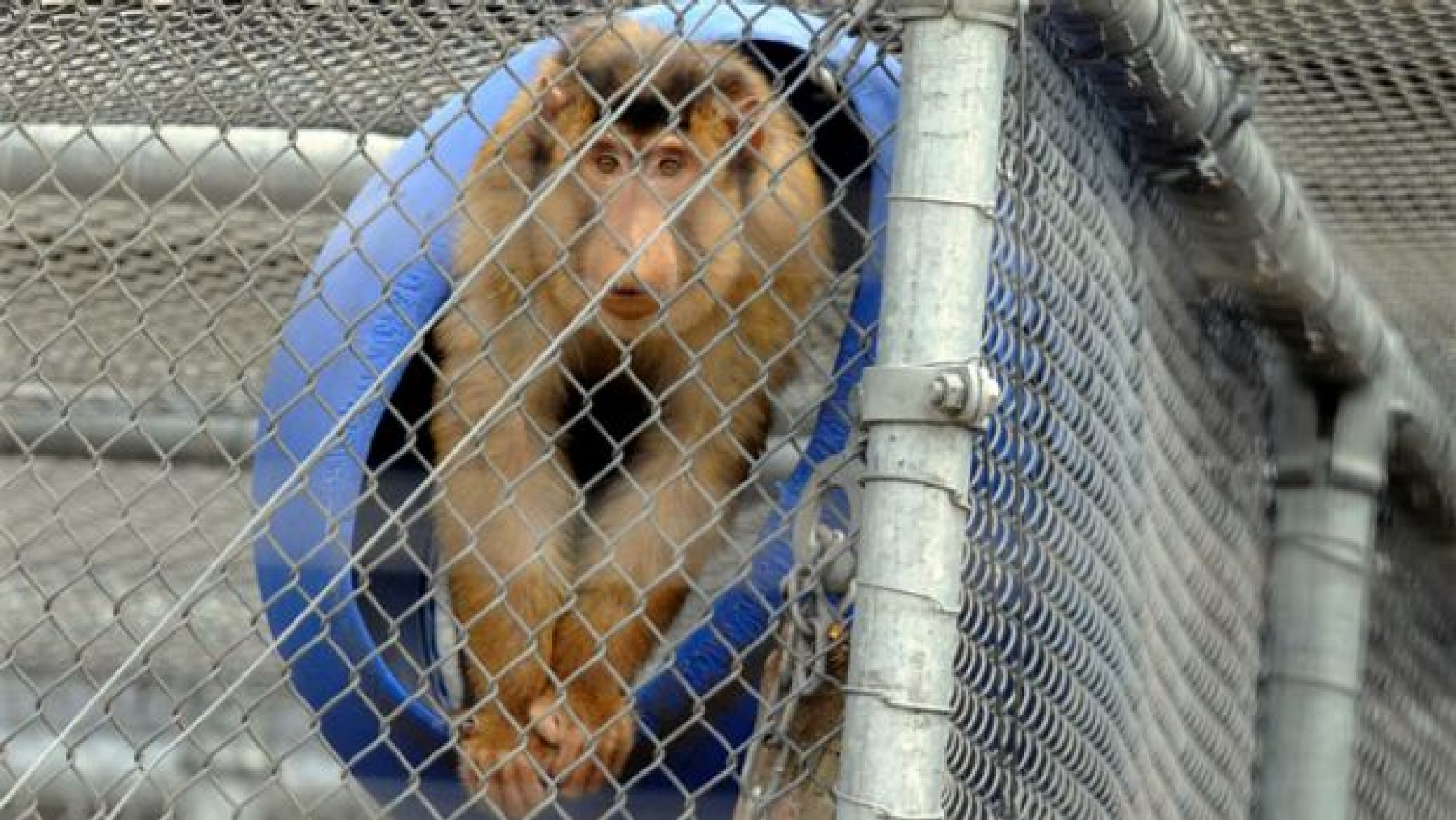 A monkey at the National Primate Breeding and Research Centre, Hazelwood South VIC, Australia