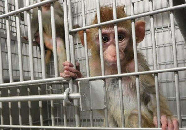 A photo of a monkey in a laboratory cage.