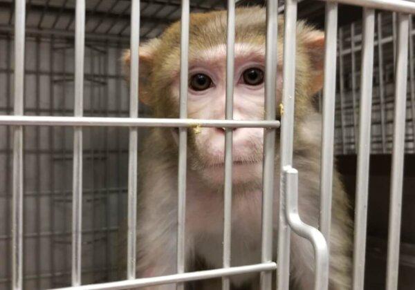 Shocking Investigation: Lab Shocks Monkey Penises Until Ejaculation