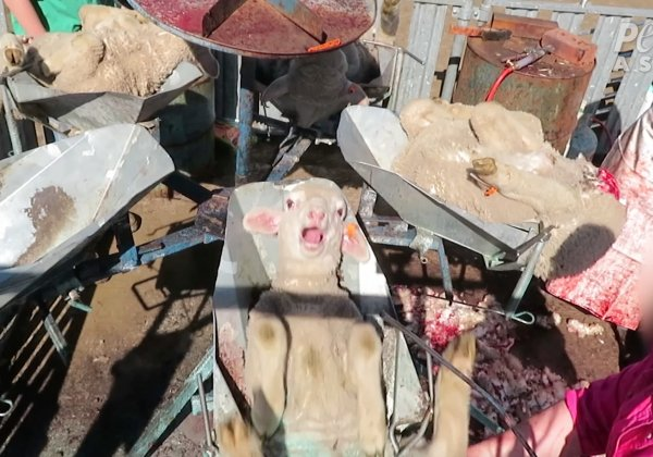 Exposed Again: Crying Lambs' Flesh and Tails Cut and Burned Off, Sheep Beaten in the Face for Wool in Australia