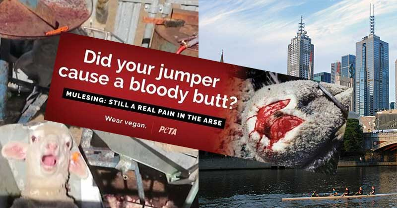 """Image shows PETA's latest mulesing billboard that has been deemed """"too graphic""""."""