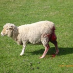 Murrayfield sheep prolapse