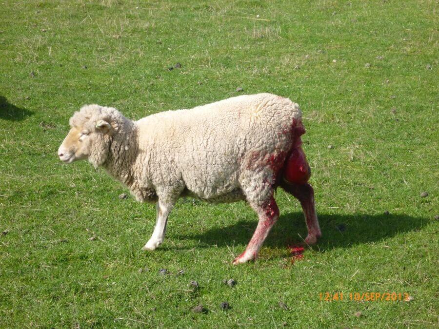 shocking photos sheep abusers avoid prosecution news peta australia
