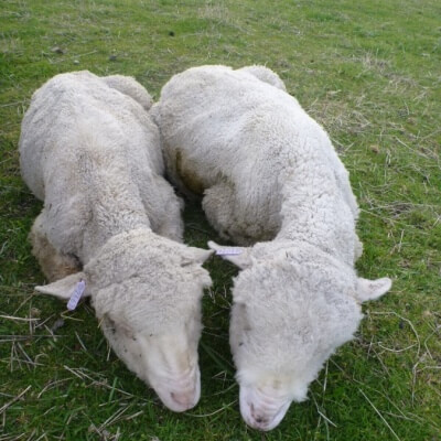 Bone-thin and starving sheep at Murrayfield.