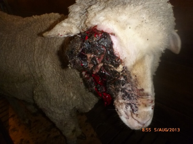 This pregnant sheep suffered from a serious eye injury, which clearly went untreated. Her lamb and fleece were seemingly more important than her suffering.