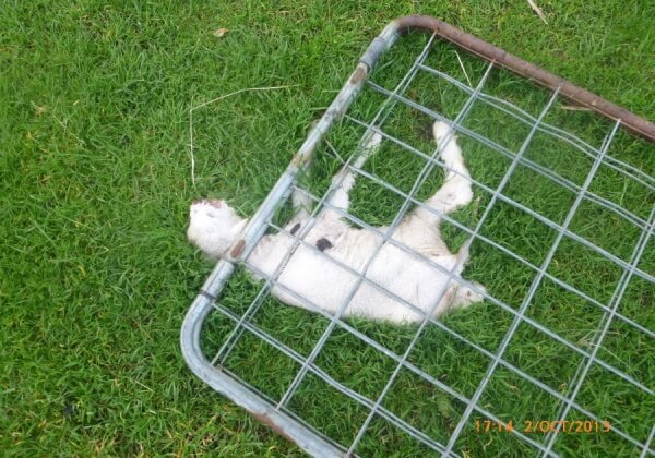 SHOCKING PHOTOS: Sheep Abusers Avoid Prosecution