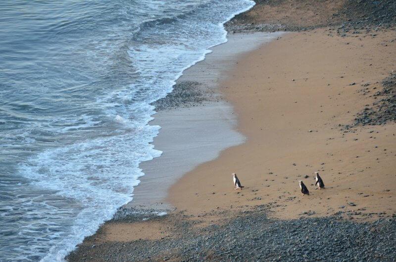NZ Penguins