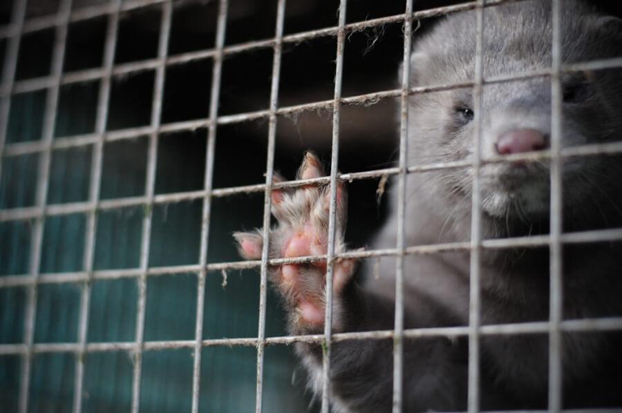 A photo of a mink on fur farm.