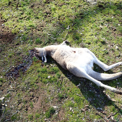 Dead Kangaroo