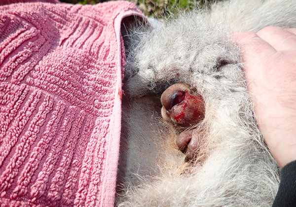 How to Remove Baby Marsupials From Their Dead Mother's Pouch