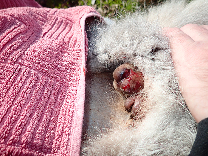 Dead kangaroo with a joey.