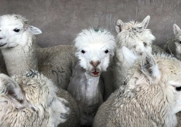 Shearers worked quickly and carelessly, leaving the animals bleeding from deep, painful wounds. This alpaca bled from the mouth.