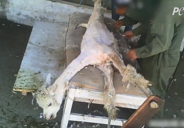 An alpaca being sheared.