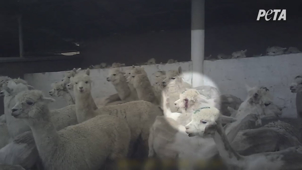 One alpaca