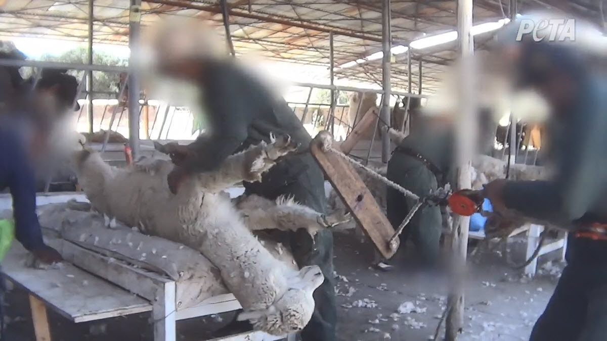 An alpaca tied tightly by the legs and pulled hard, nearly wrenching their legs out of their sockets.