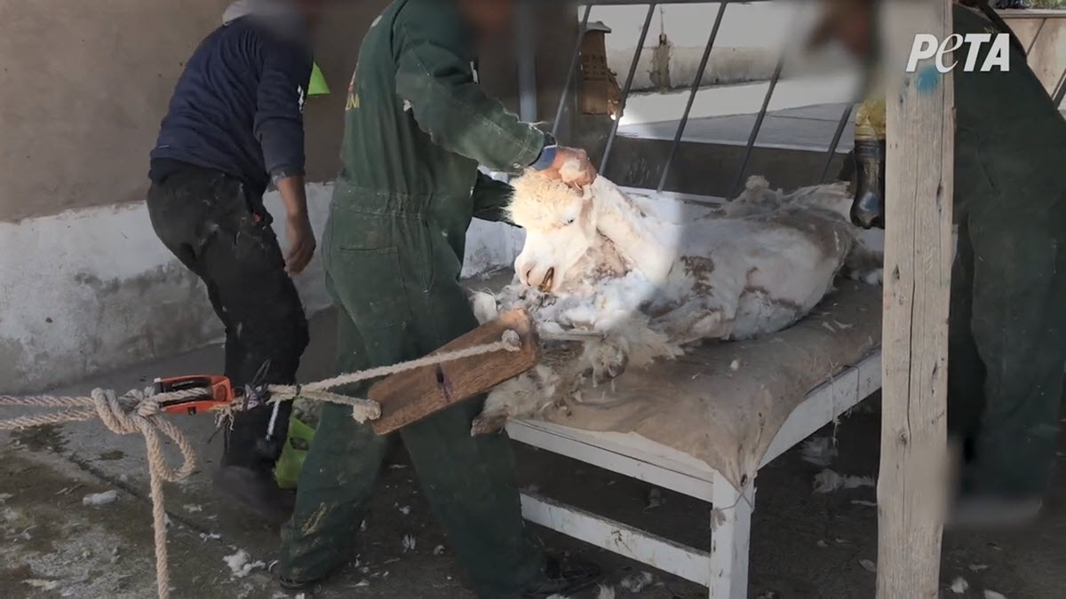 An alpaca has a restraining device on his legs and is stretched across a table to be sheared.