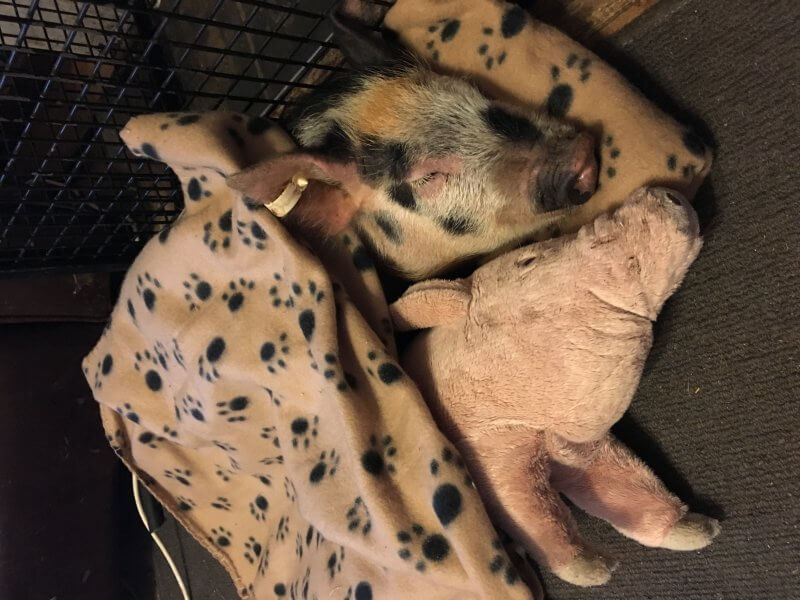 Pedro rescued pig