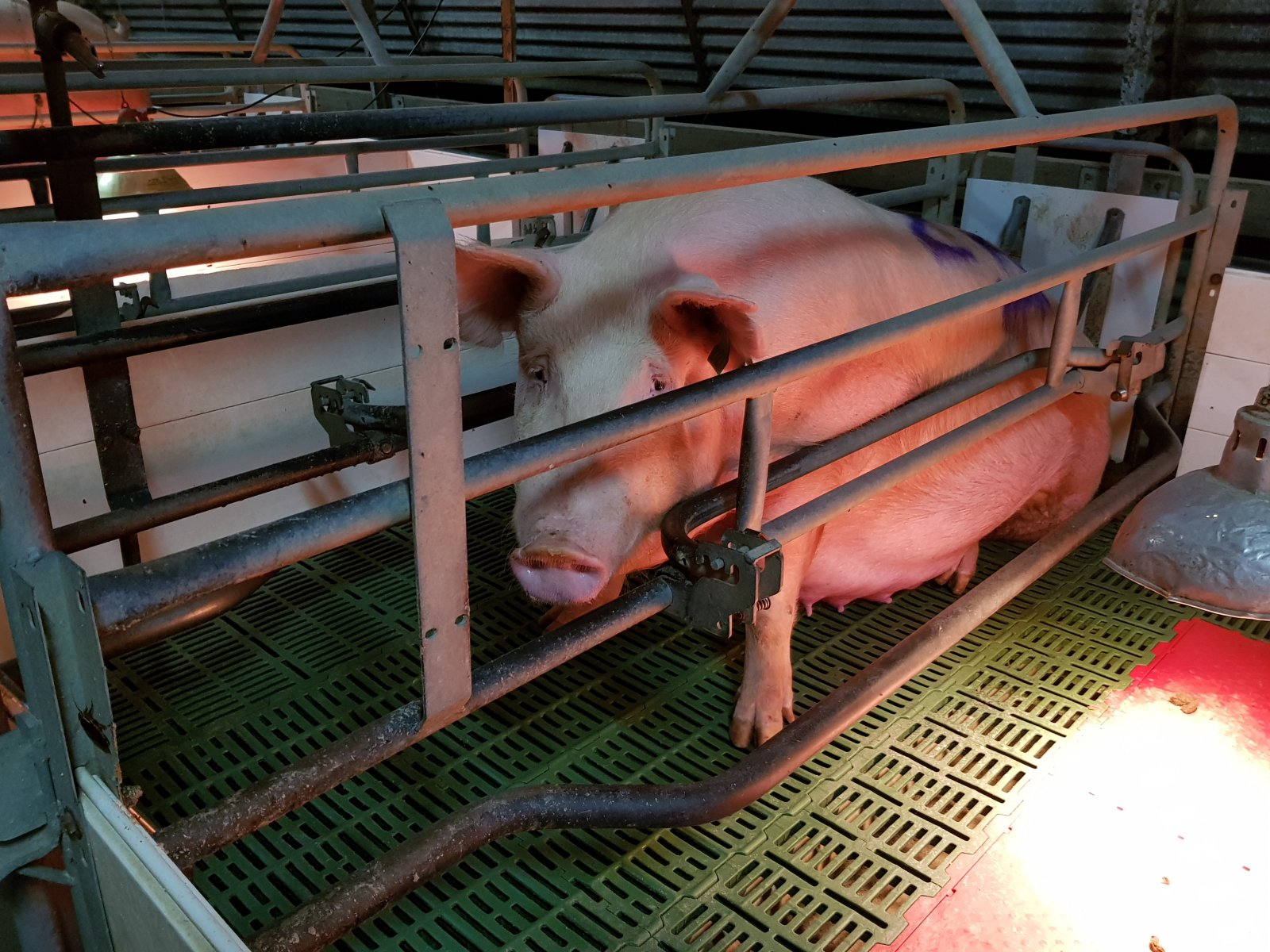 A pig in a farrowing crate